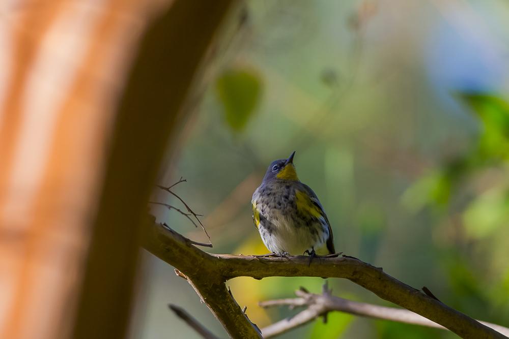 黄腰柳莺  Yellow-rumped warbler_图1-15