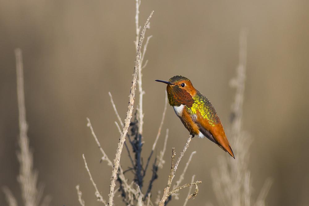 棕煌蜂鸟 Allen's hummingbird_图1-1