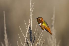 棕煌蜂鸟 Allen's hummingbird