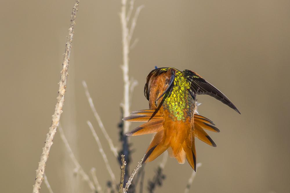 棕煌蜂鸟 Allen's hummingbird_图1-5
