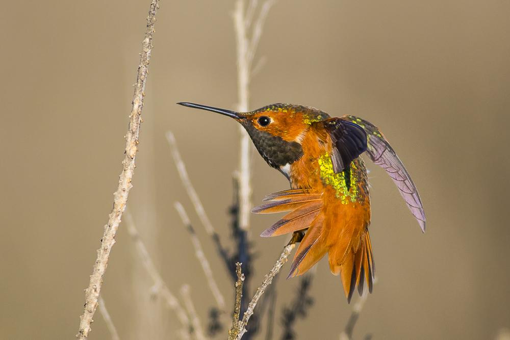 棕煌蜂鸟 Allen's hummingbird_图1-6