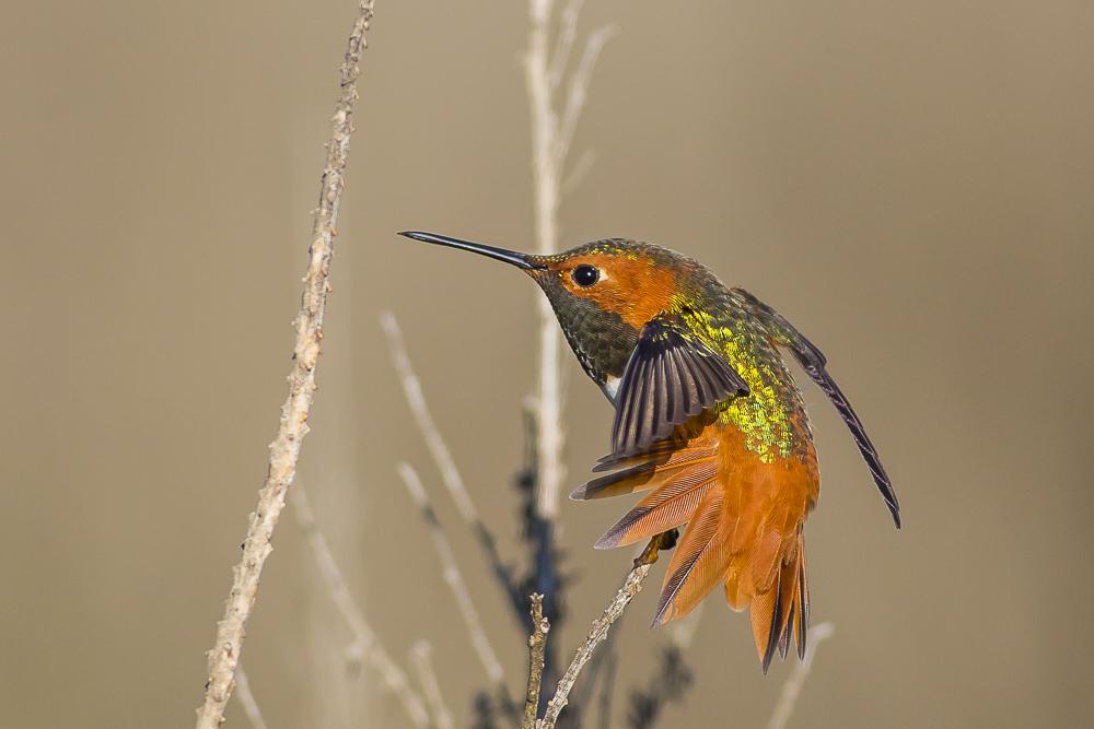 棕煌蜂鸟 Allen's hummingbird_图1-7