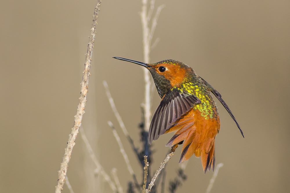 棕煌蜂鸟 Allen's hummingbird_图1-8