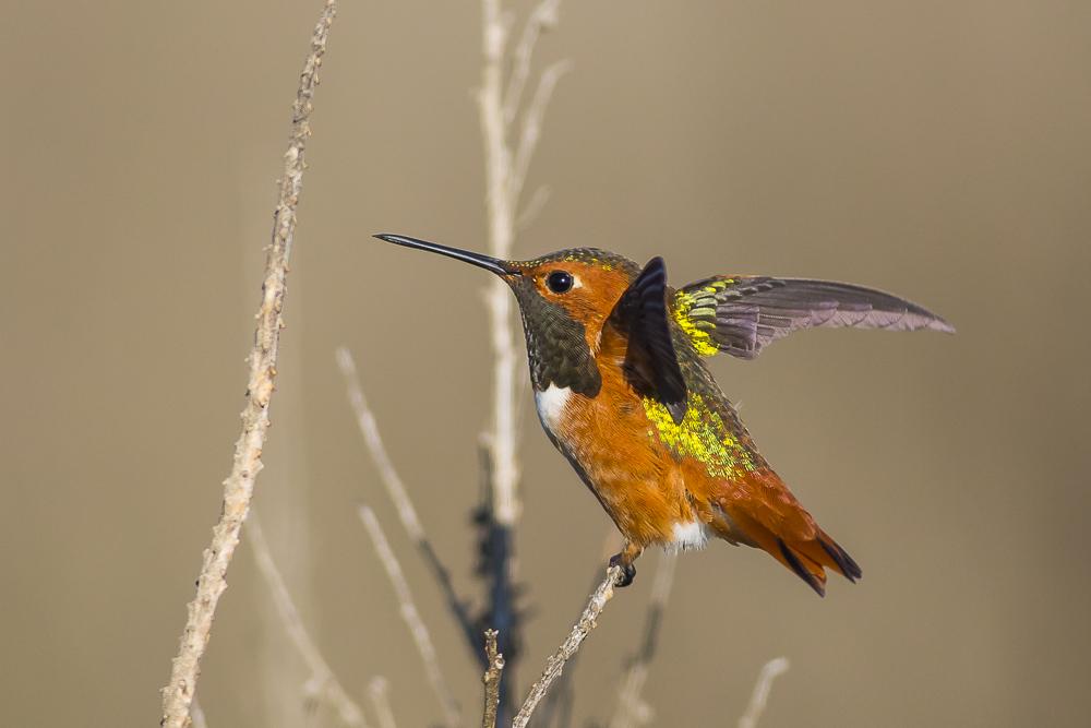 棕煌蜂鸟 Allen's hummingbird_图1-9