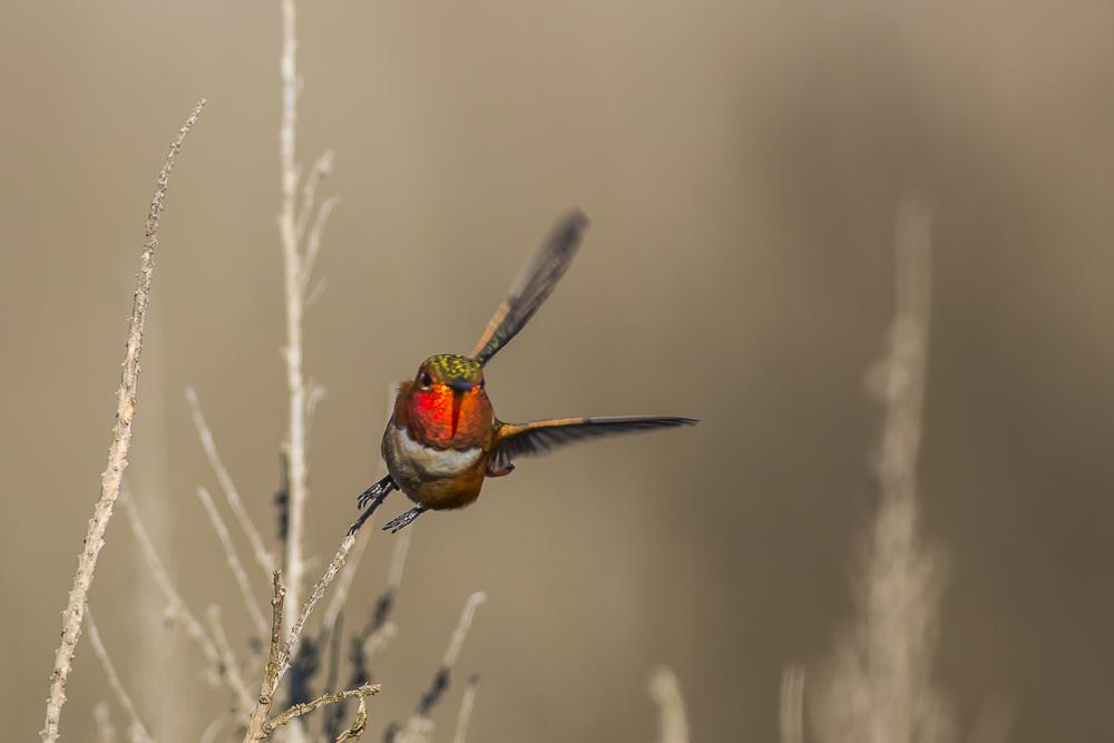 棕煌蜂鸟 Allen's hummingbird_图1-10
