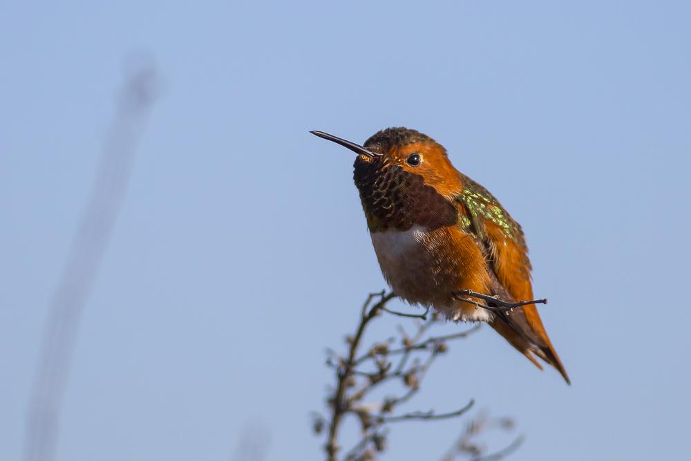 棕煌蜂鸟 Allen's hummingbird_图1-11