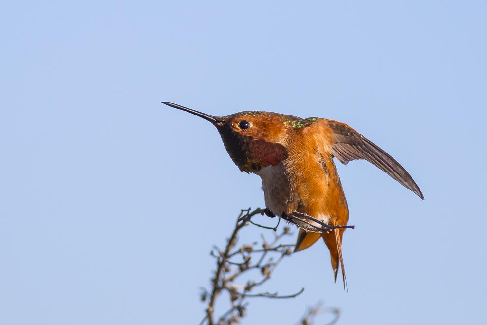 棕煌蜂鸟 Allen's hummingbird_图1-13