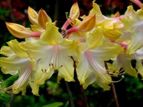 Brookside Gardens 花园杜鹃花