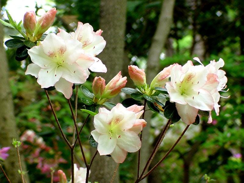 Brookside Gardens 花园杜鹃花_图1-12