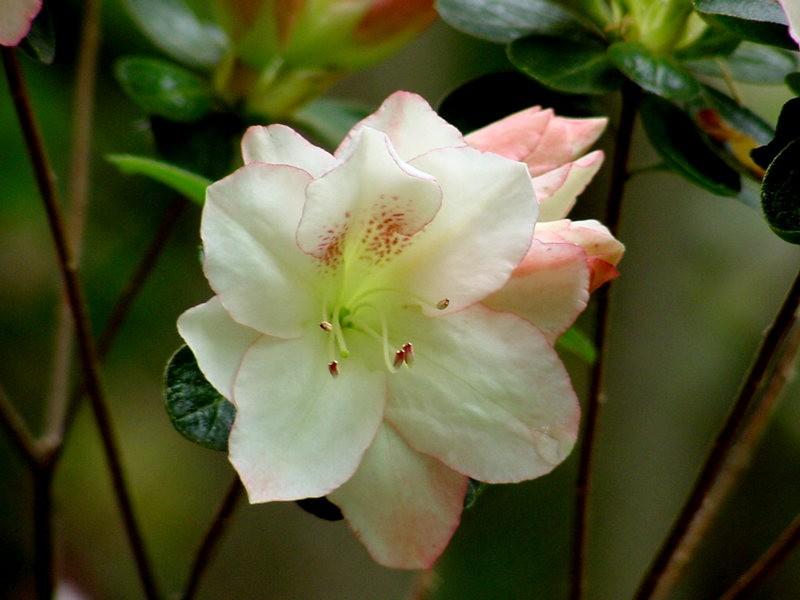 Brookside Gardens 花园杜鹃花_图1-13