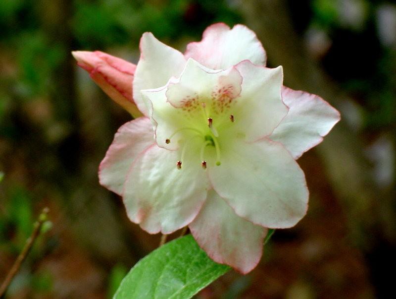 Brookside Gardens 花园杜鹃花_图1-14
