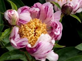 201554 新泽西州植物园芍药