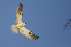 White Tailed Kite 白尾鸢