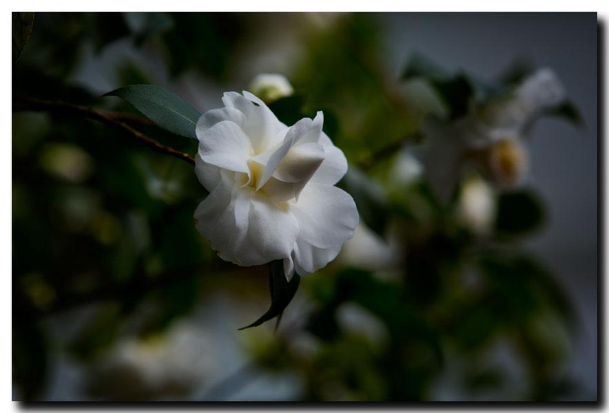 《酒一船摄影》:长岛植物园的山茶花_图1-1