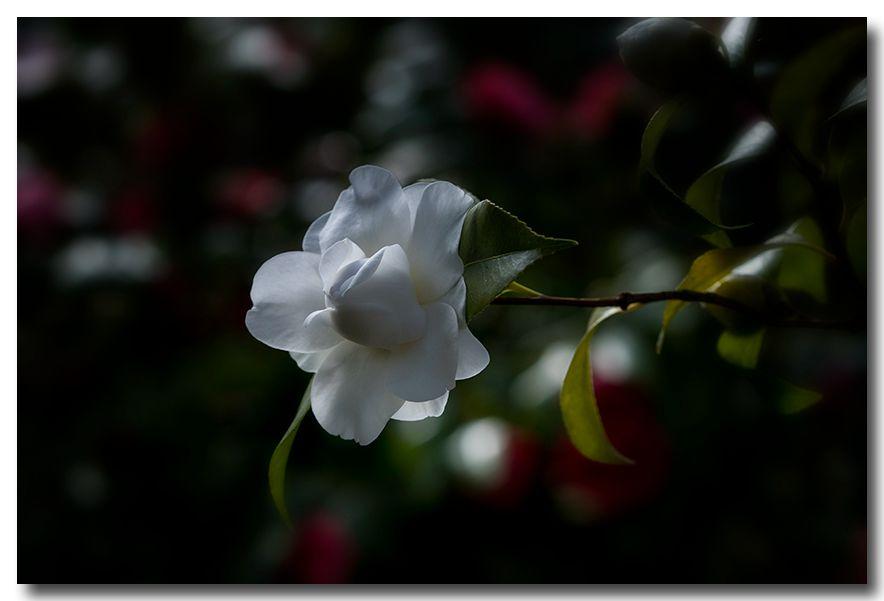 《酒一船摄影》:长岛植物园的山茶花_图1-2