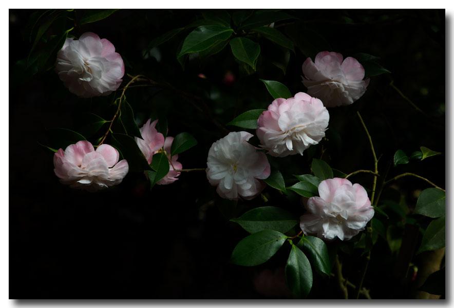《酒一船摄影》:长岛植物园的山茶花_图1-4