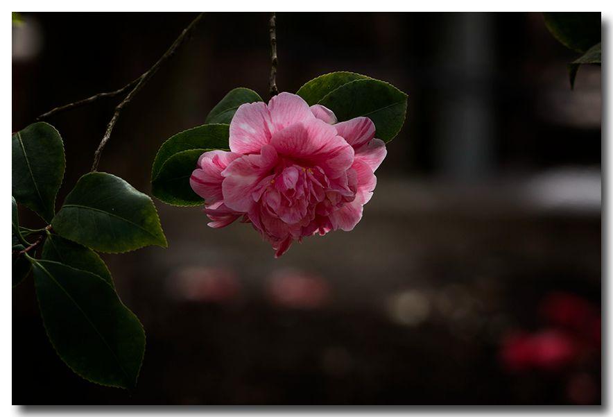 《酒一船摄影》:长岛植物园的山茶花_图1-7