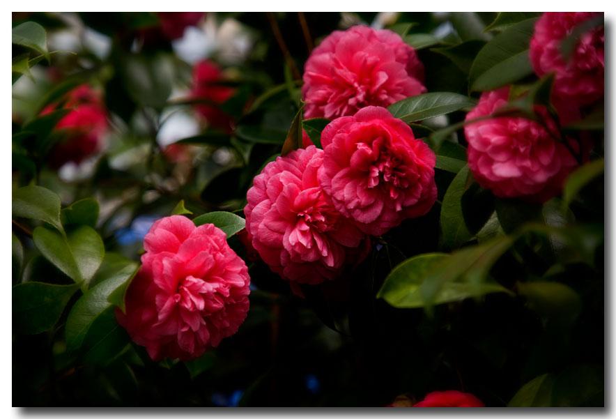 《酒一船摄影》:长岛植物园的山茶花_图1-9