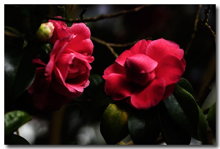 《酒一船摄影》:长岛植物园的山茶花_图1-8