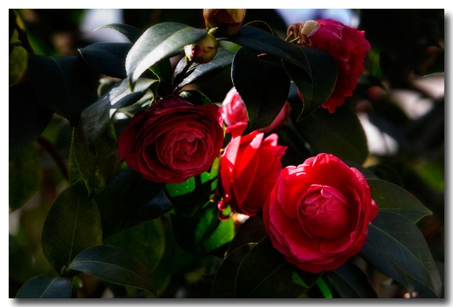 《酒一船摄影》:长岛植物园的山茶花_图1-11