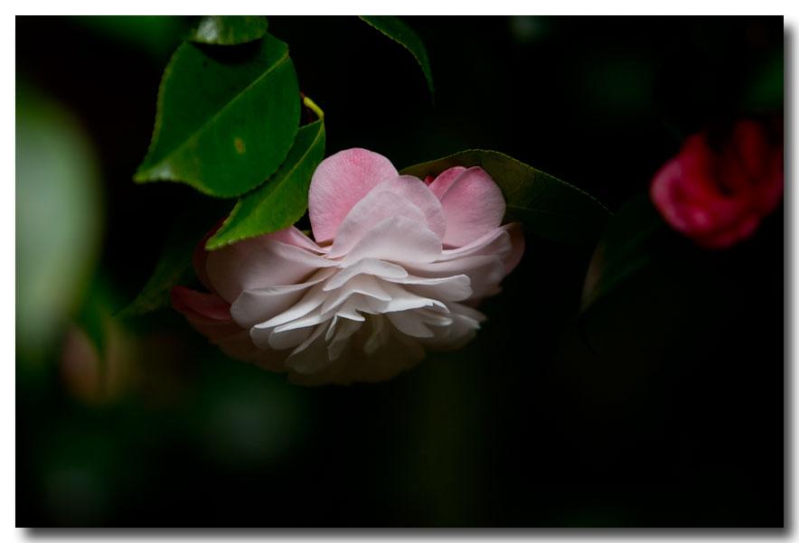 《酒一船摄影》:长岛植物园的山茶花_图1-13