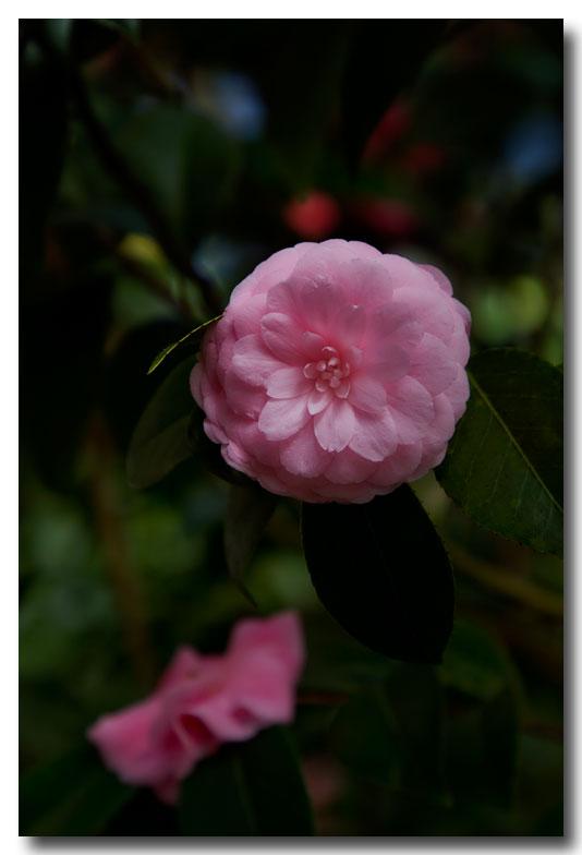 《酒一船摄影》:长岛植物园的山茶花_图1-12