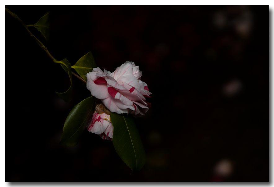 《酒一船摄影》:长岛植物园的山茶花_图1-14