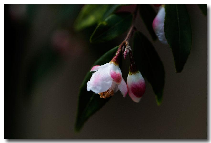 《酒一船摄影》:长岛植物园的山茶花_图1-15