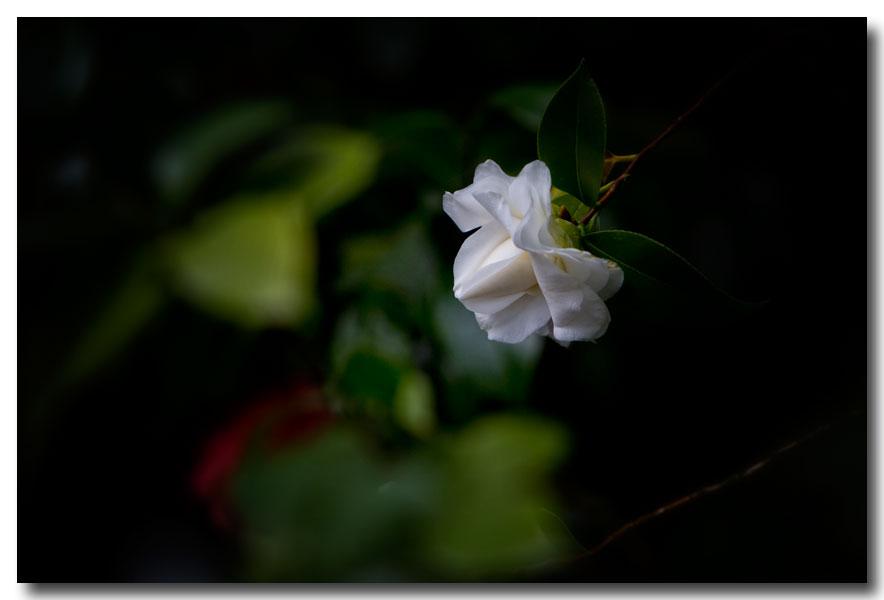 《酒一船摄影》:长岛植物园的山茶花_图1-16