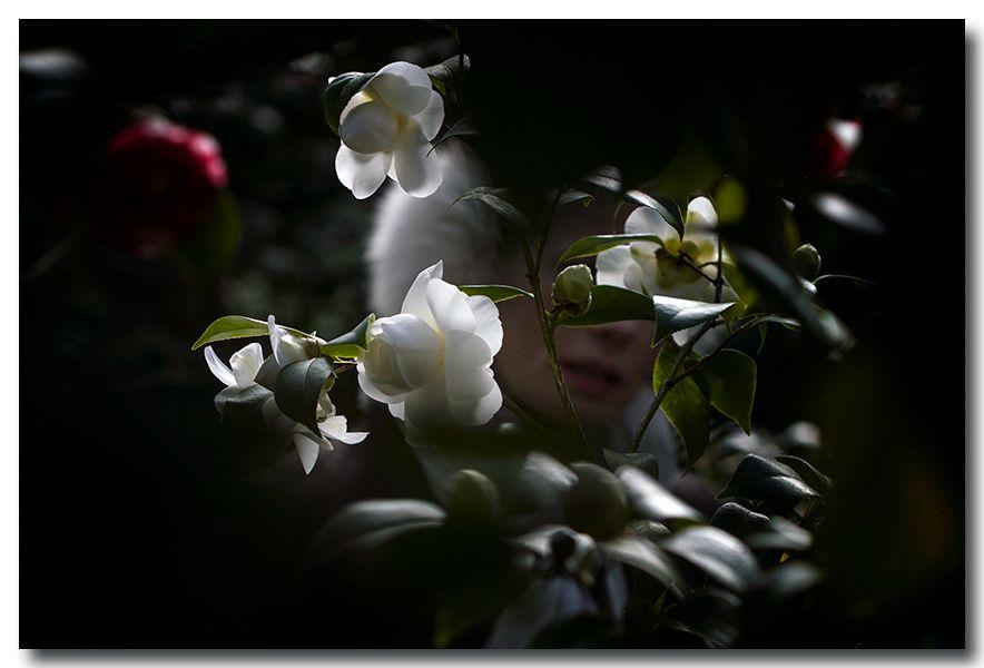 《酒一船摄影》:长岛植物园的山茶花_图1-19