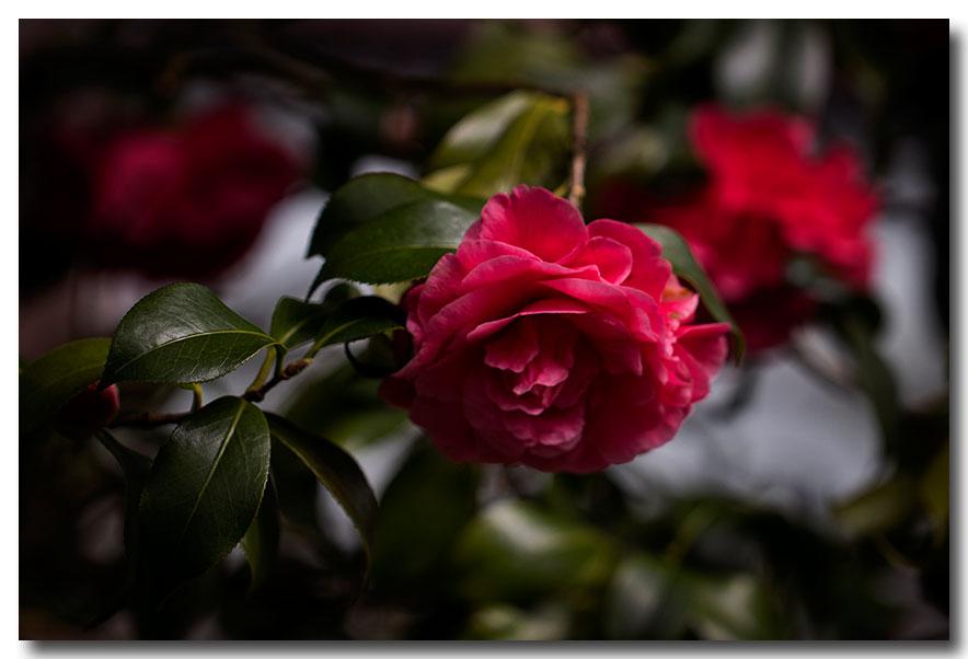 《酒一船摄影》:长岛植物园的山茶花_图1-23
