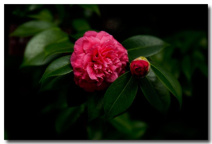 《酒一船摄影》:长岛植物园的山茶花_图1-27