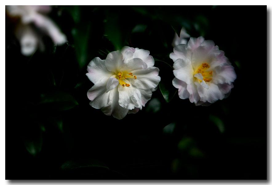 《酒一船摄影》:长岛植物园的山茶花_图1-26