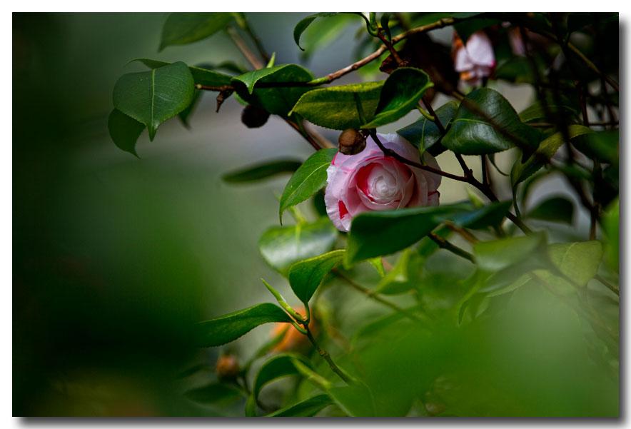 《酒一船摄影》:长岛植物园的山茶花_图1-28