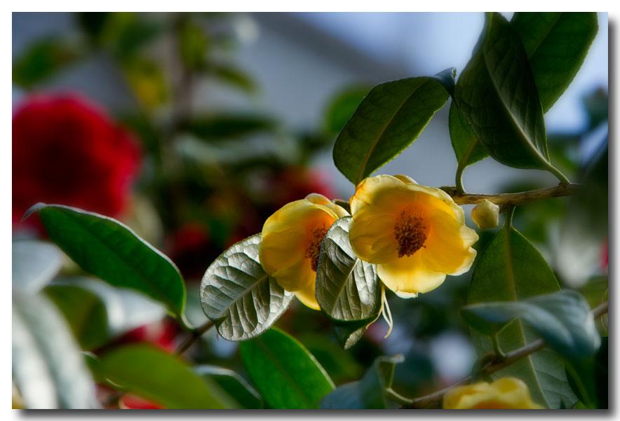 《酒一船摄影》:长岛植物园的山茶花_图1-29