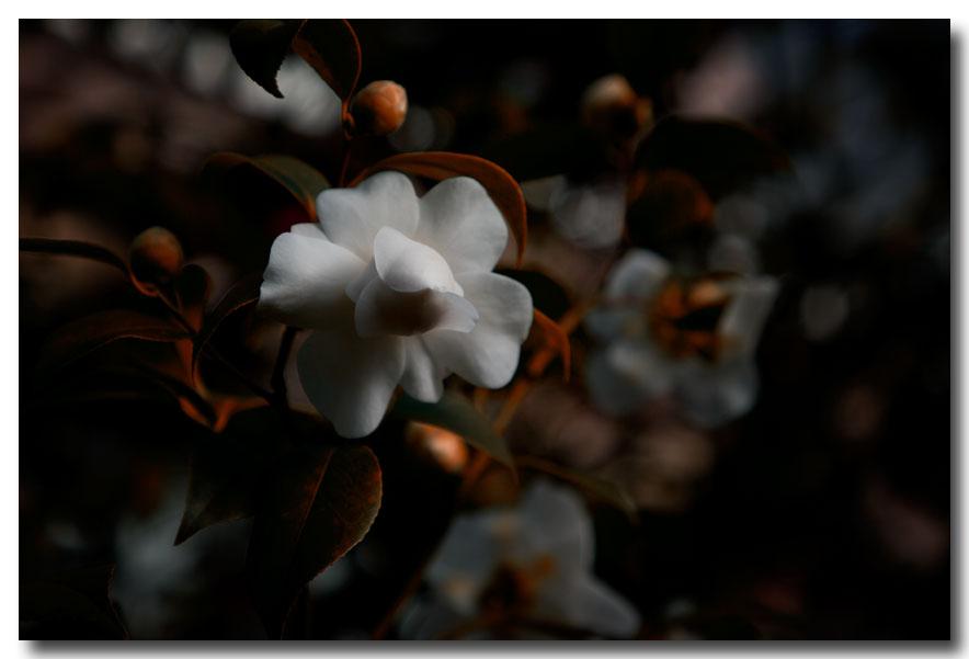 《酒一船摄影》:长岛植物园的山茶花_图1-30