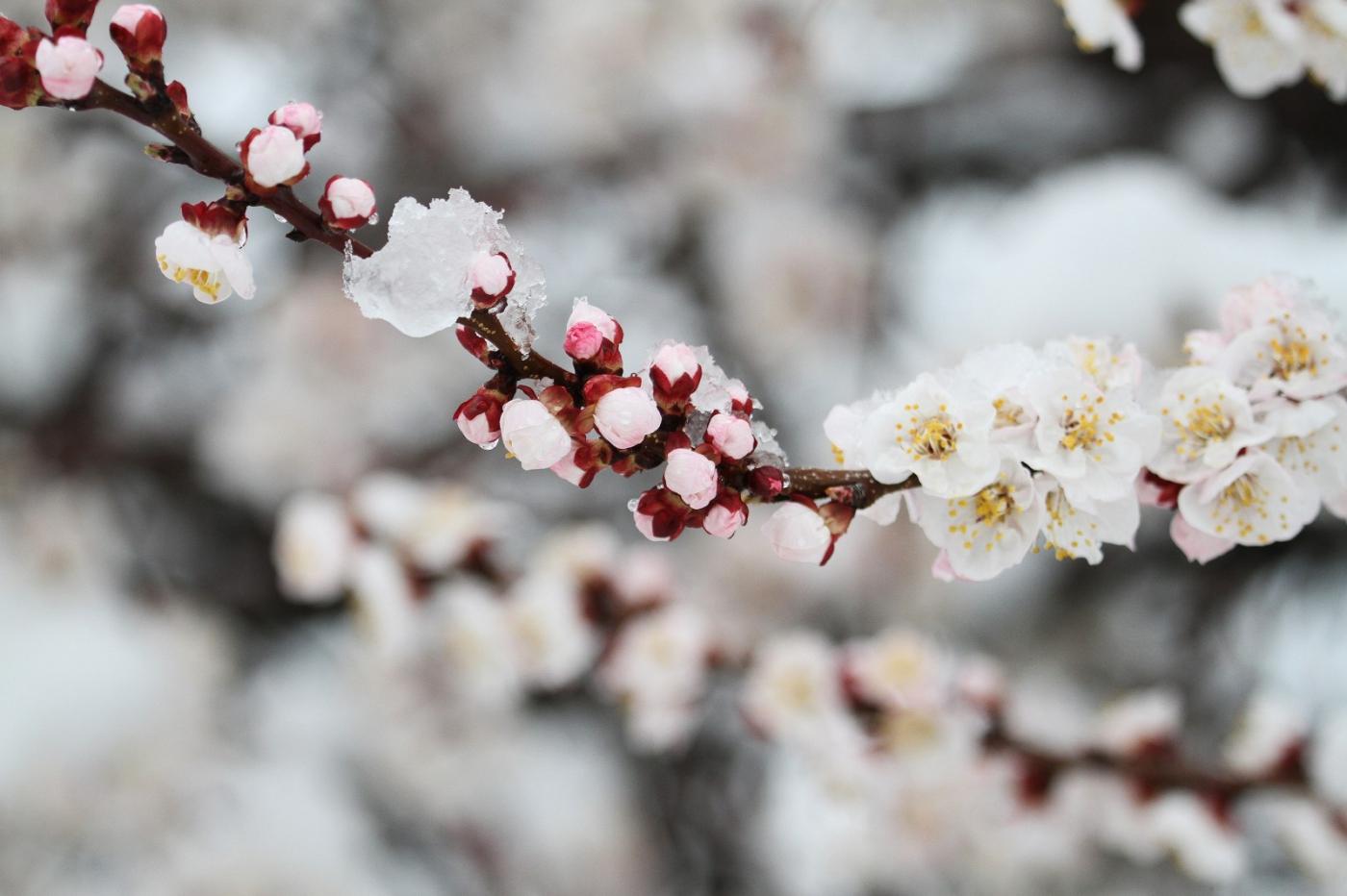 【田螺手机摄影】今早下雪去拍梅花_图1-3