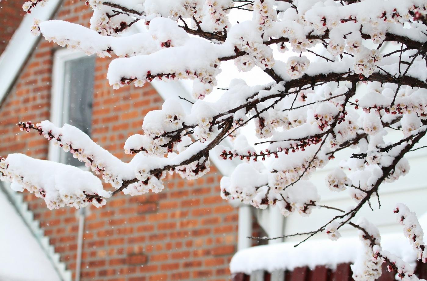 【田螺手机摄影】今早下雪去拍梅花_图1-4