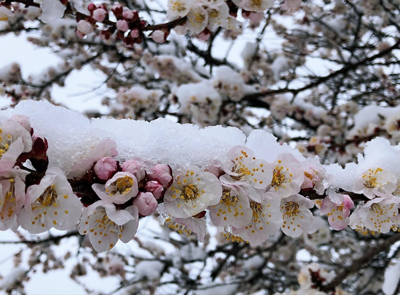 【田螺手机摄影】今早下雪去拍梅花_图1-8