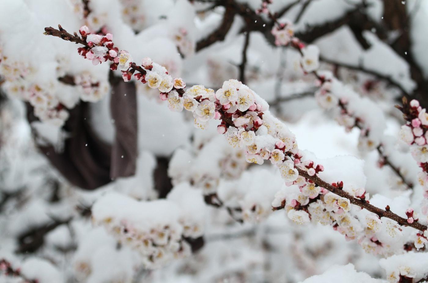 【田螺手机摄影】今早下雪去拍梅花_图1-9