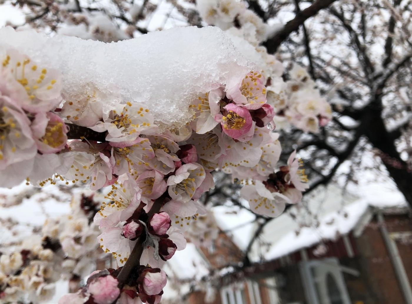 【田螺手机摄影】今早下雪去拍梅花_图1-10