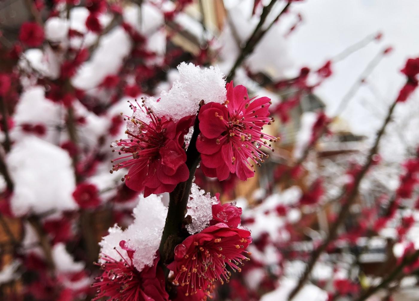 【田螺手机摄影】今早下雪去拍梅花_图1-12