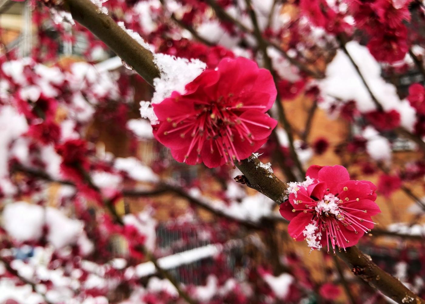 【田螺手机摄影】今早下雪去拍梅花_图1-14