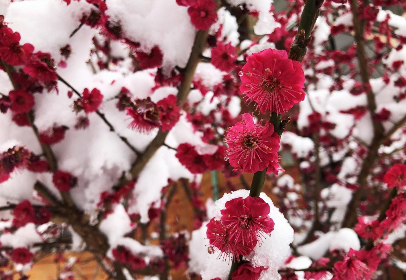 【田螺手机摄影】今早下雪去拍梅花_图1-15