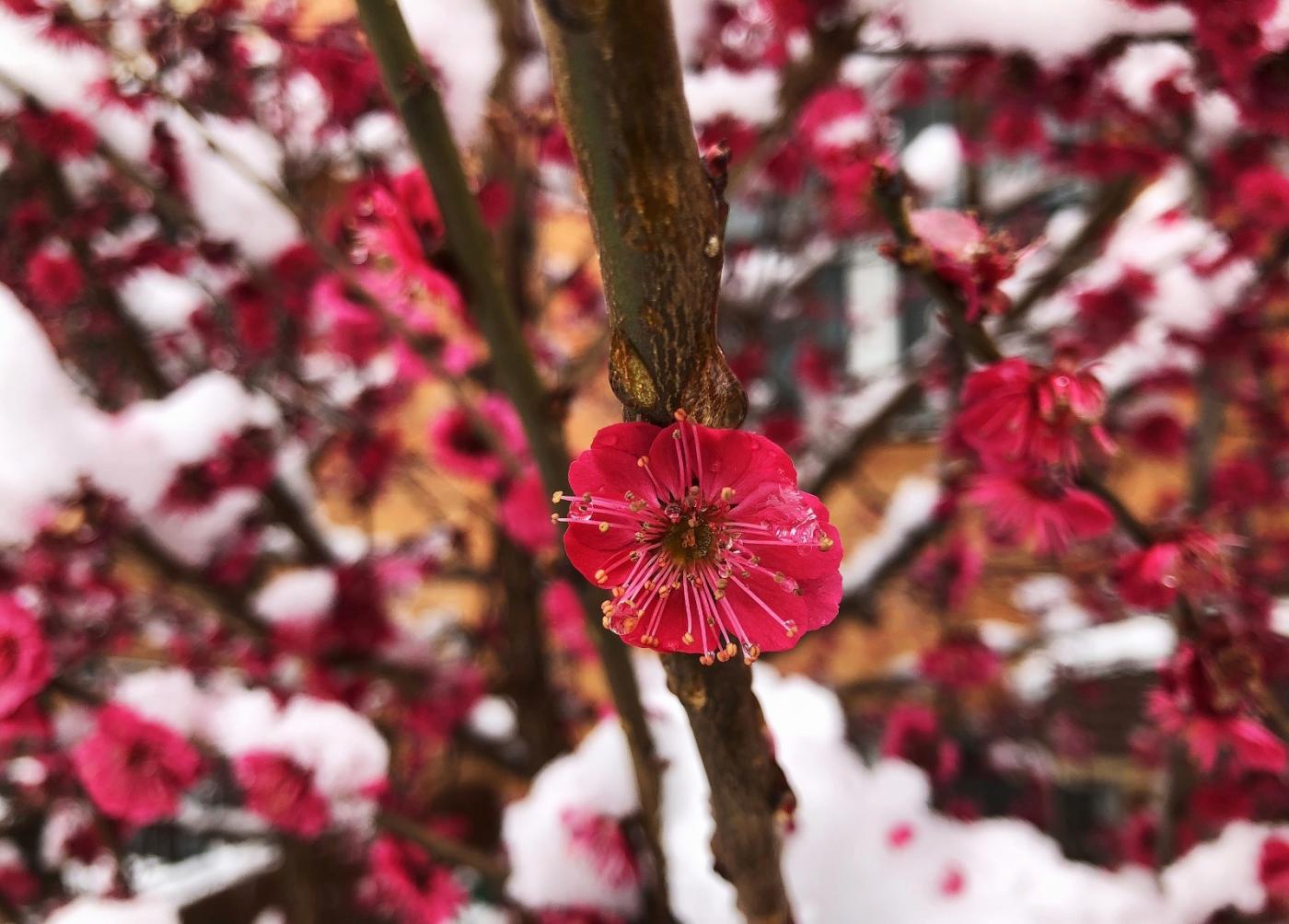 【田螺手机摄影】今早下雪去拍梅花_图1-19