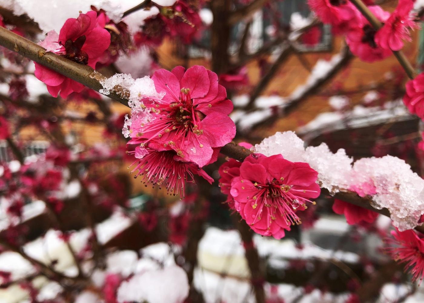 【田螺手机摄影】今早下雪去拍梅花_图1-18