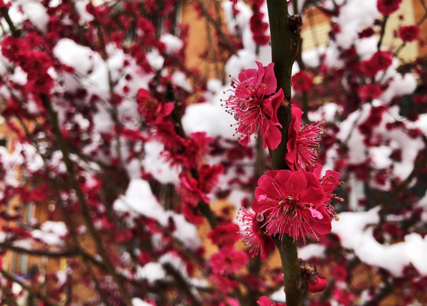 【田螺手机摄影】今早下雪去拍梅花_图1-22