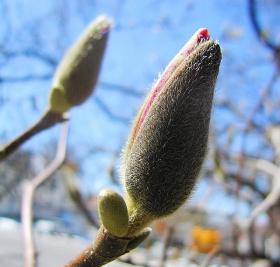 木兰花茸芽