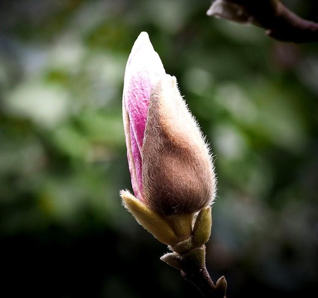 木蘭花茸芽_圖1-5