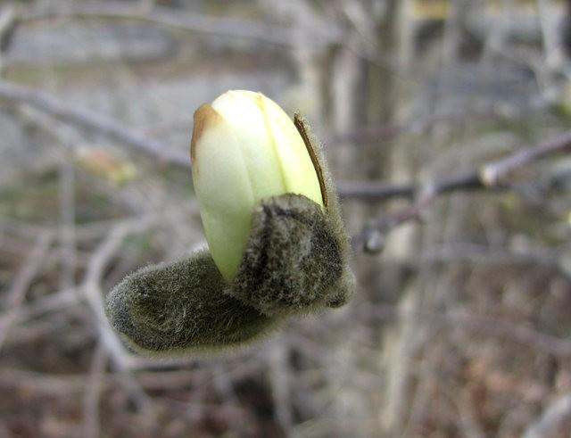 木蘭花茸芽_圖1-16